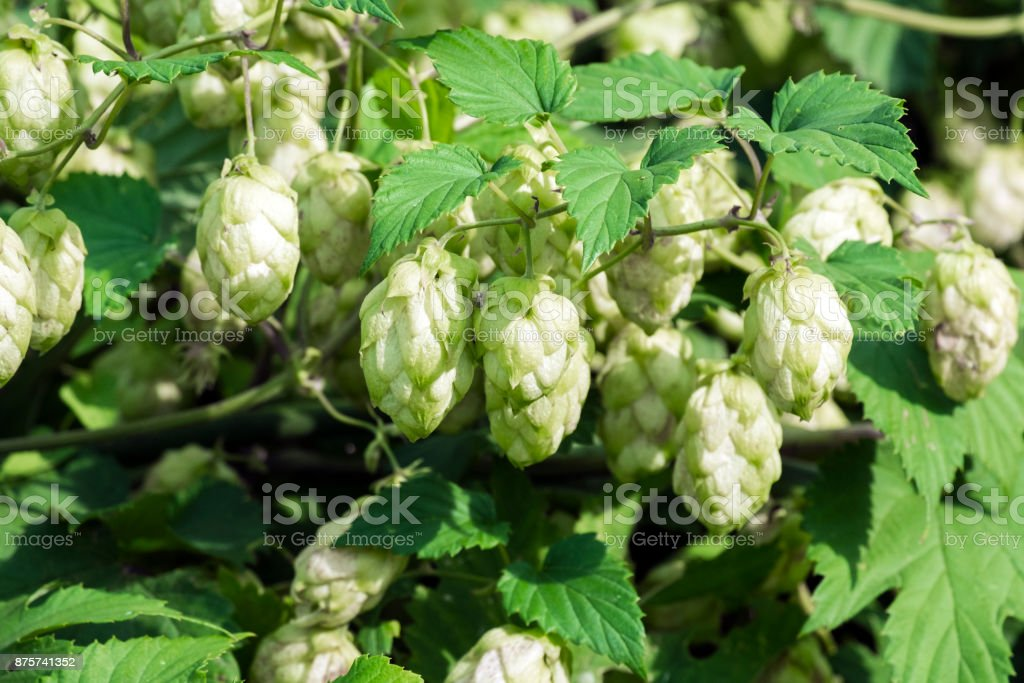 Pineal fruit of common hop (Humulus lupulus) stock photo