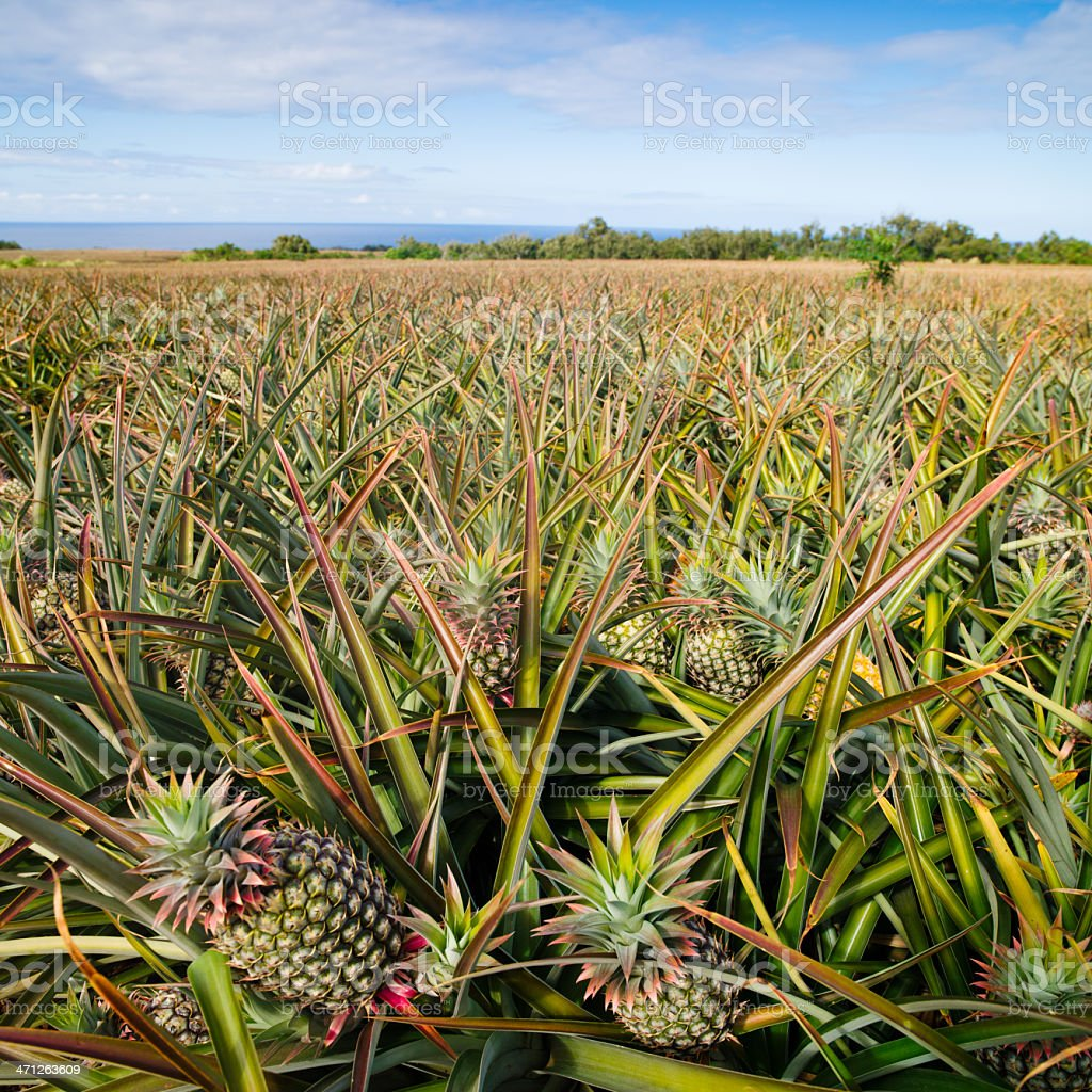 Pineapple Agriculture Plantation royalty-free stock photo