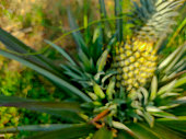 Pineapple tropical fruit growing in a farm.