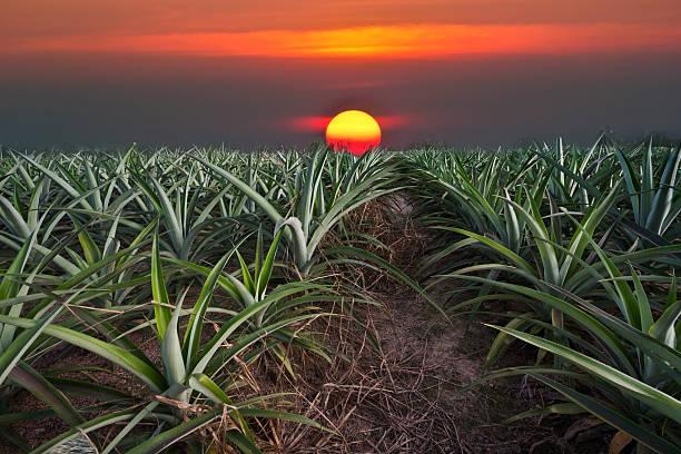 pineapple farm stock photo