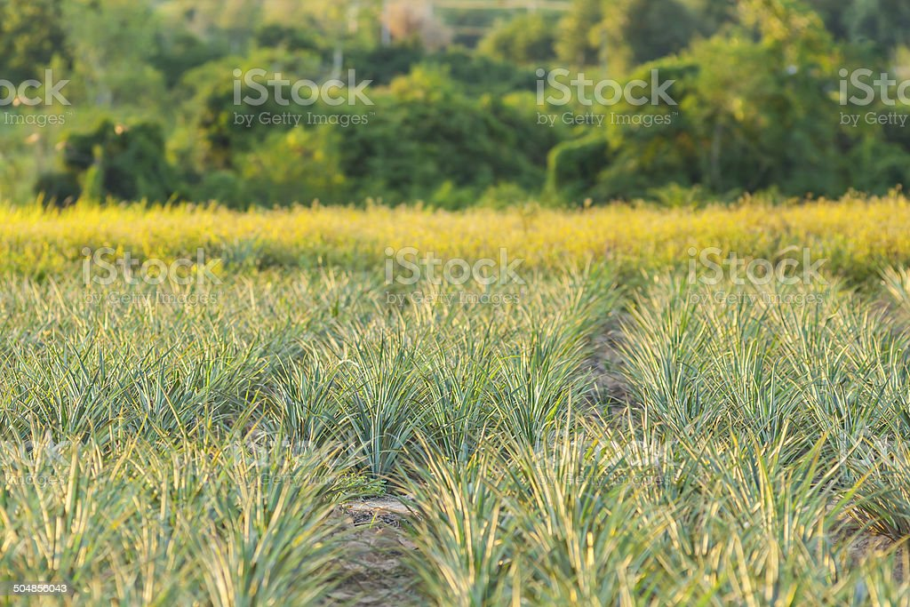 Pineapple field stock photo