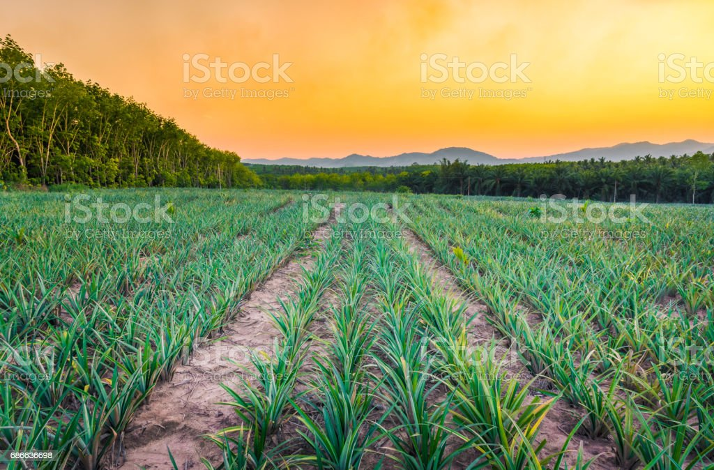 Pineapple field with mountain in sunset time. royalty-free stock photo