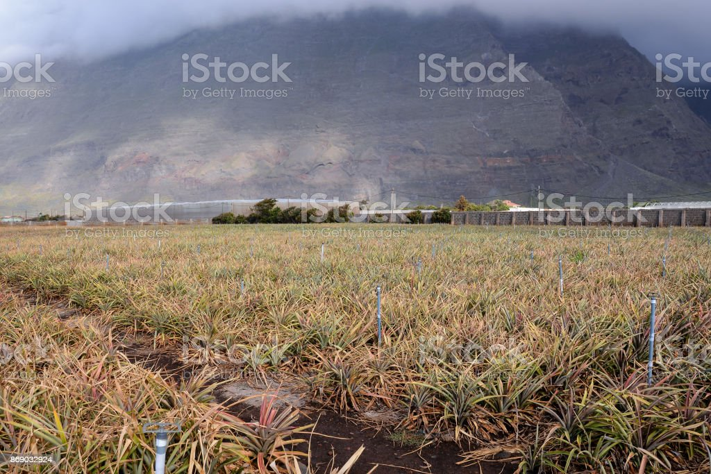 Pineapple field Young pineapples stock photo