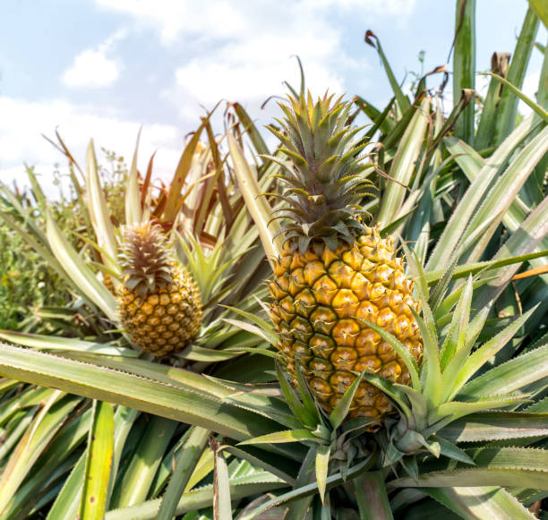 pineapple fruit on the bush - ananas zdjęcia i obrazy z banku zdjęć