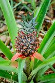 Baby pineapple growing