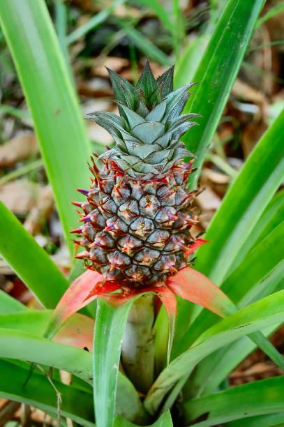 Pineapple growing stock photo