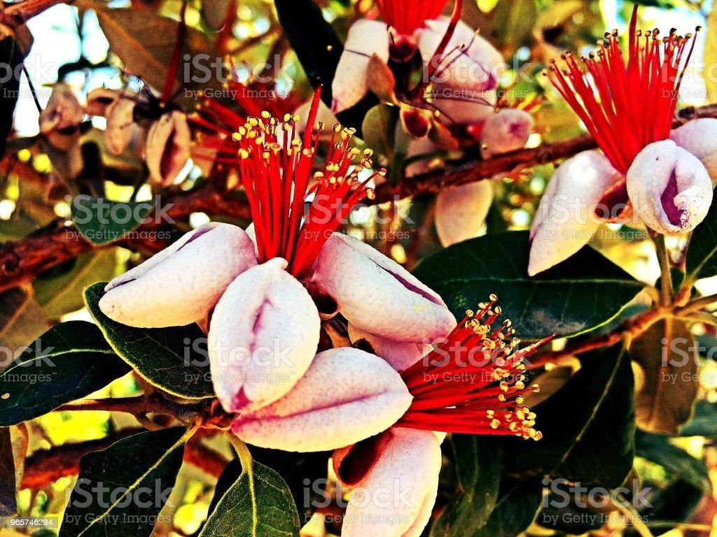 Ananas guave boom bloom - Royalty-free Bloem - Plant Stockfoto