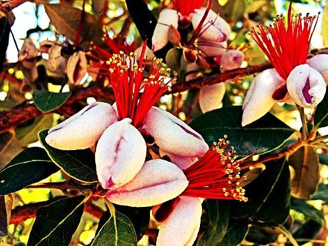 Ananas Guave Boom Bloom Stockfoto en meer beelden van Bloem - Plant