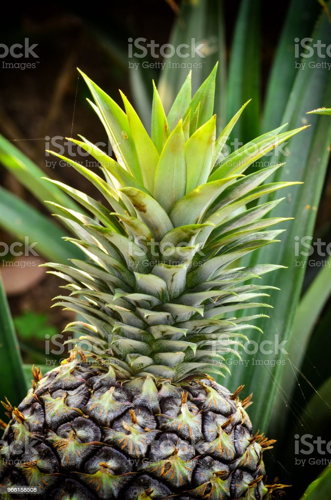 pineapple in garden - Foto stock royalty-free di Ananas
