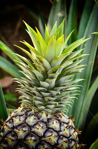 Ananas I Trädgården-foton och fler bilder på Ananas