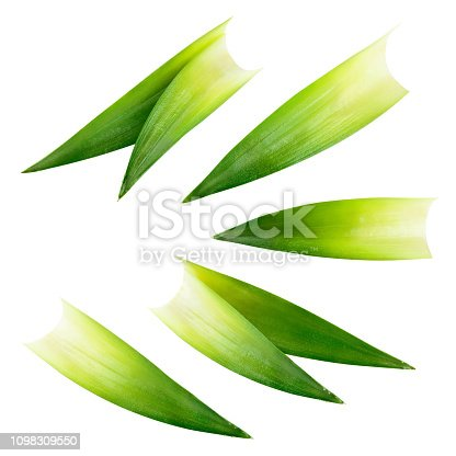 Pineapple leaves isolated on white background. Pineapple green leaves. With clipping path. Full depth of field.