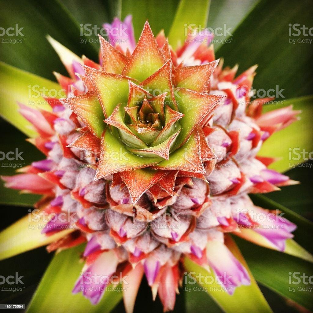 Pineapple Passion stock photo