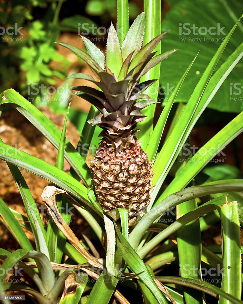 Pineapple Pineapple growing in the tropics. Agriculture Stock Photo
