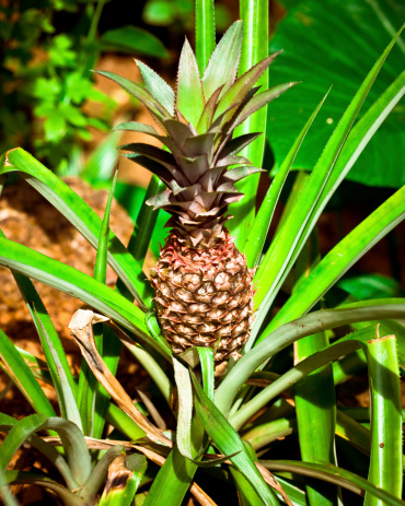Pineapple Stock Photo - Download Image Now
