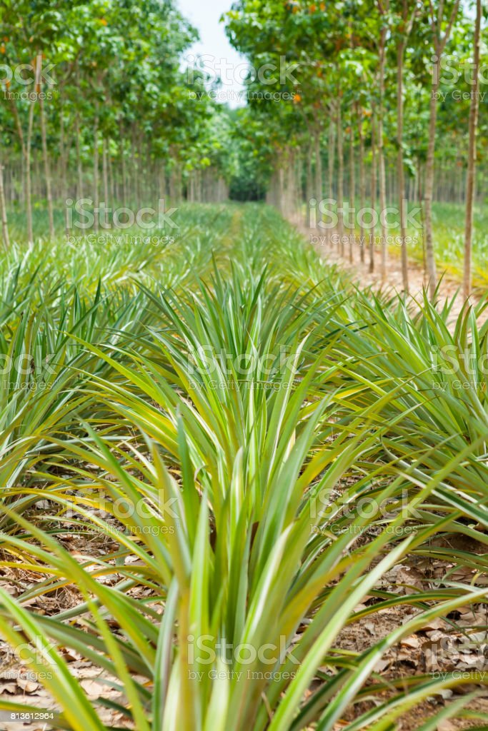 Pineapple Plant Field In Rubber Garden Royalty Free Stock Photo