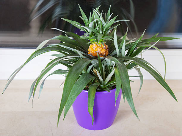Pineapple plant grown in pot stock photo