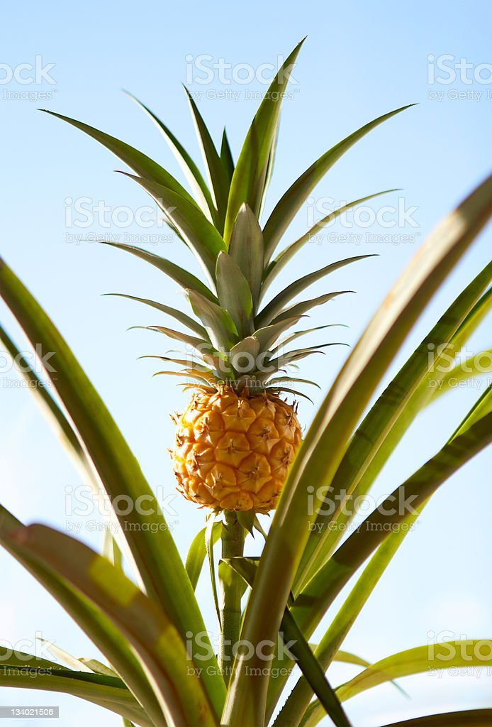 Pineapple Plant royalty-free stock photo