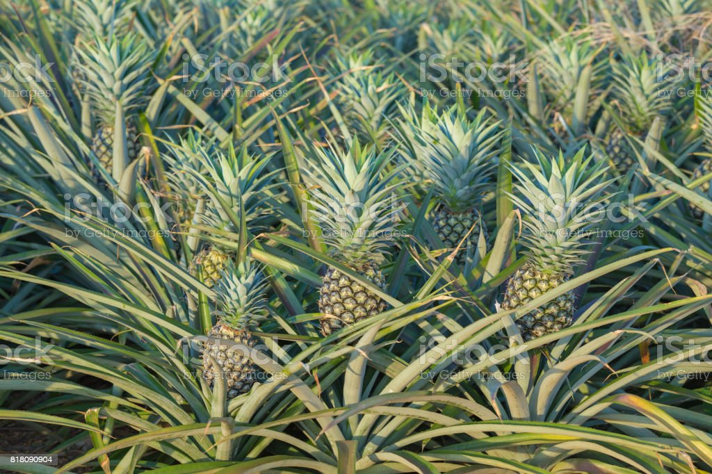 pineapple plant tropical fruit growing in a farm stock photo more pictures of agriculture istock. Black Bedroom Furniture Sets. Home Design Ideas