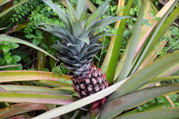 Ananas Pflanze mit Ananas reif für die Ernte – Foto