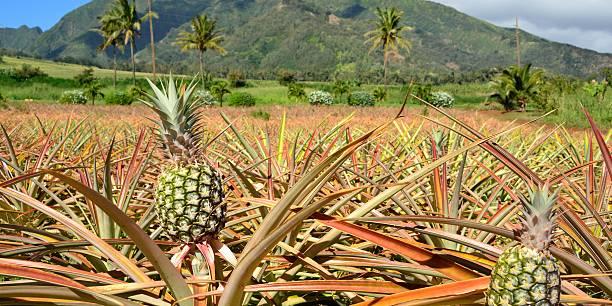 Pineapple Plantation, Maui, Hawaii stock photo