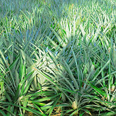 Lampung, Indonesia - October 12 2020: This is a very sweet and fresh pineapple breed on October 12th 2020