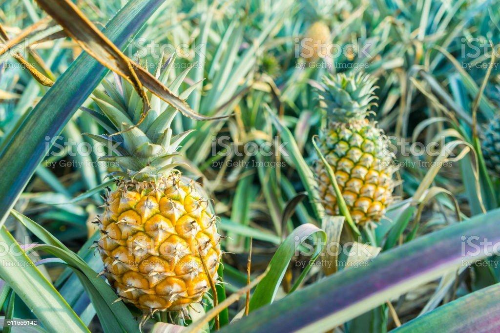 Ananas tropische Früchte wachsen auf einer farm  – Foto