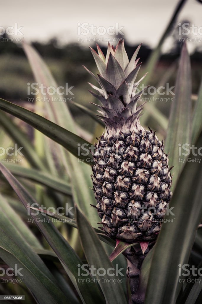 Pineapple tropical fruit growing in plantation garden. old filter effect royalty-free stock photo