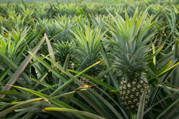 Pineapple tropical fruit in a farm at Sriracha City , Chonburi Province ,Thailand Pineapple tropical fruit in a farm at Sriracha City , Chonburi Province ,Thailand sriracha tiger zoo stock pictures, royalty-free photos & images
