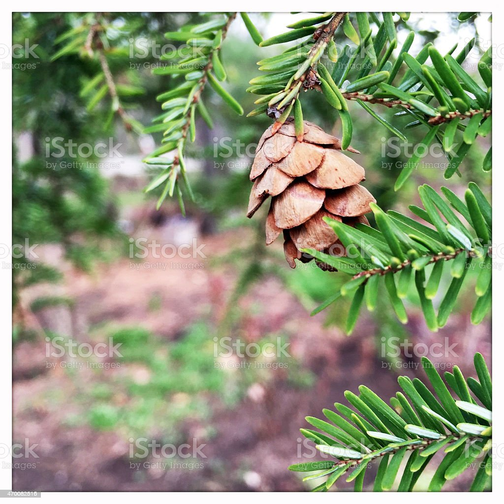 Pinecone from A Canadian Eastern Hemlock Pine Evergreen Tree stock photo