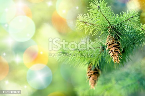 Pinecone (cone) on branch on Christmas tree outdoor
