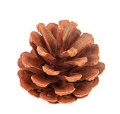 istock Pinecone on branch  on white background 1218341898