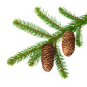 istock Pinecone on branch 184845011