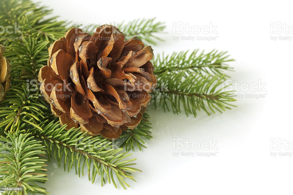 Pinecone on branch royalty-free stock photo