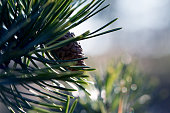 istock Pinecone on branch 700296244