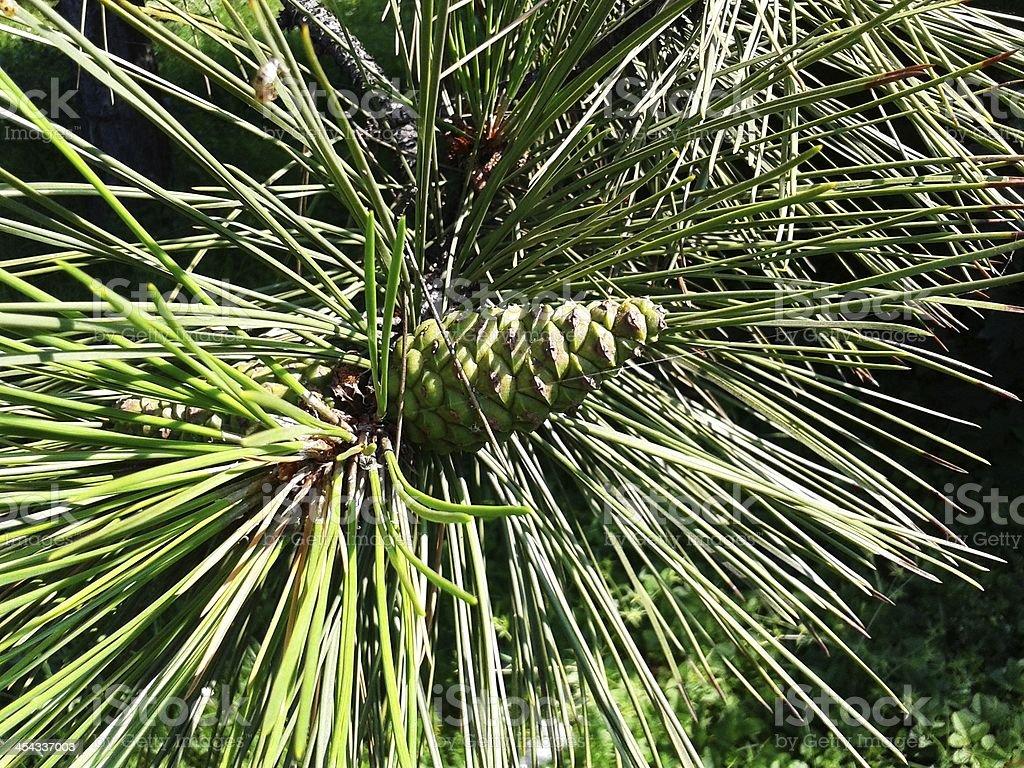 Pinecone on the tree royalty-free stock photo