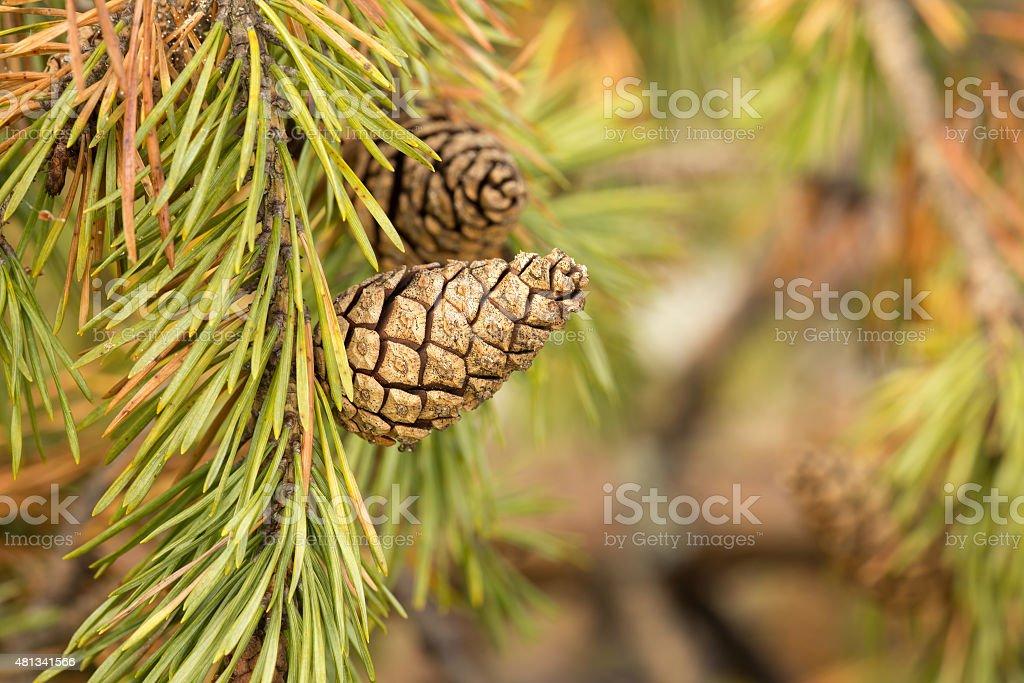 Pinecone on twig stock photo