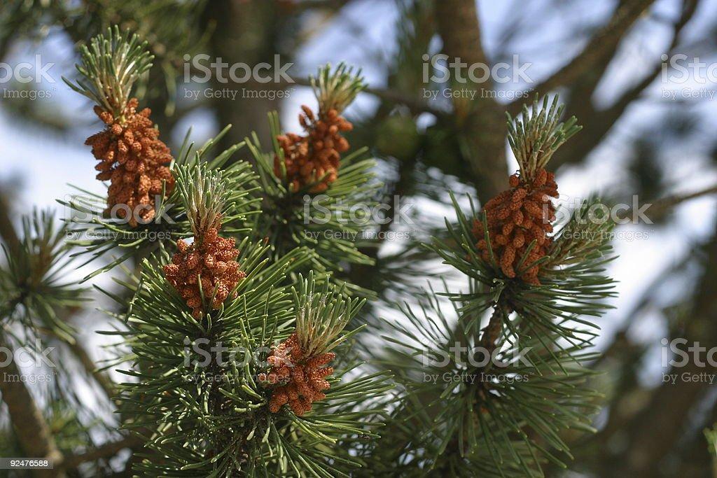 Pinecone royalty-free stock photo