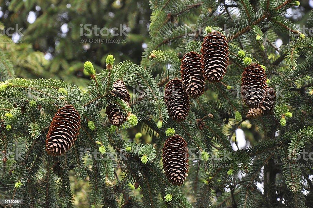pinecones on the tree royalty-free stock photo
