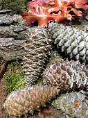 Pinecones on Tree Wood