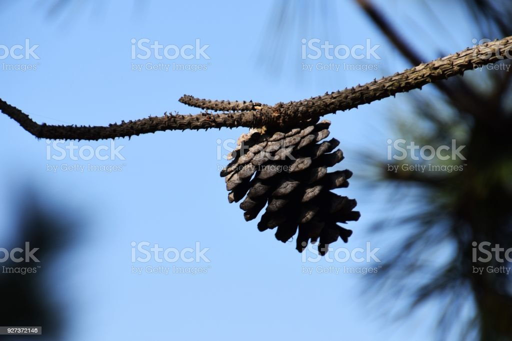 "Pinecones The seed-producing cone""Pine cones"" Branch - Plant Part Stock Photo"