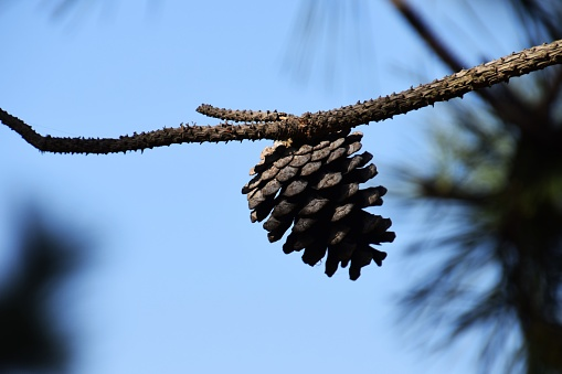 Pinecones Stock Photo - Download Image Now