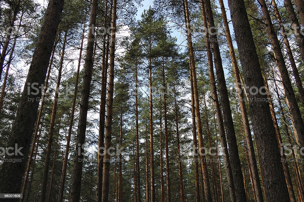 Pines against the blue sky royalty-free stock photo