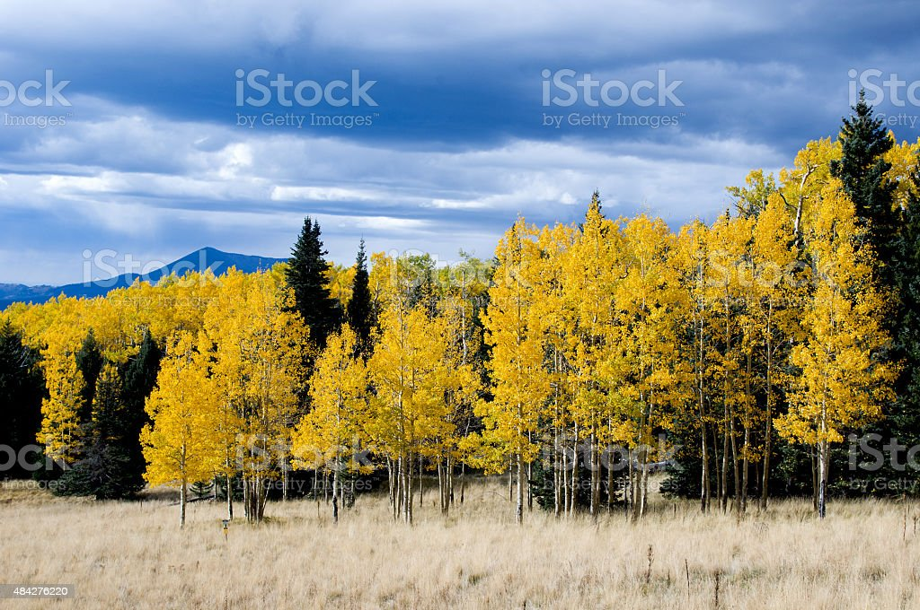 Pines and Aspens stock photo