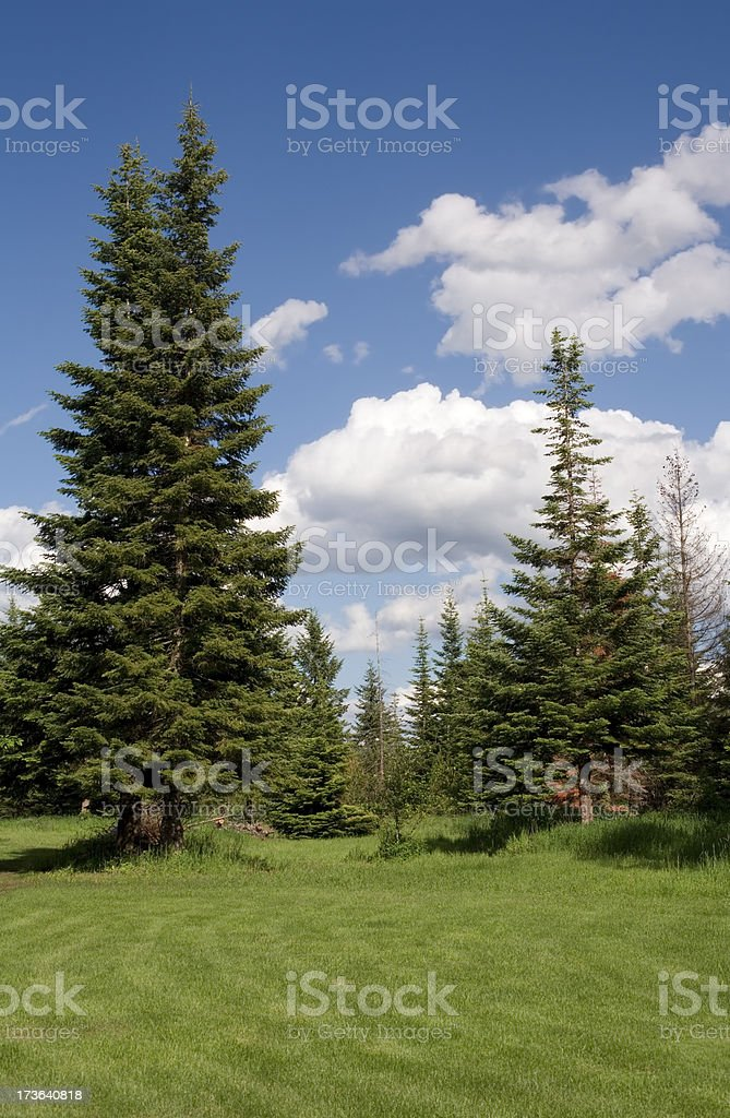 pines and grass royalty-free stock photo