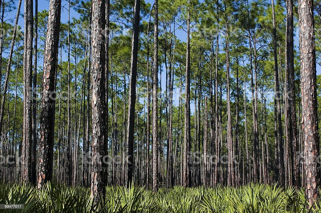Pines and Saw Palmettos stock photo