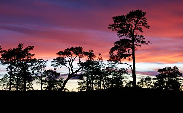Pines in the sunset stock photo