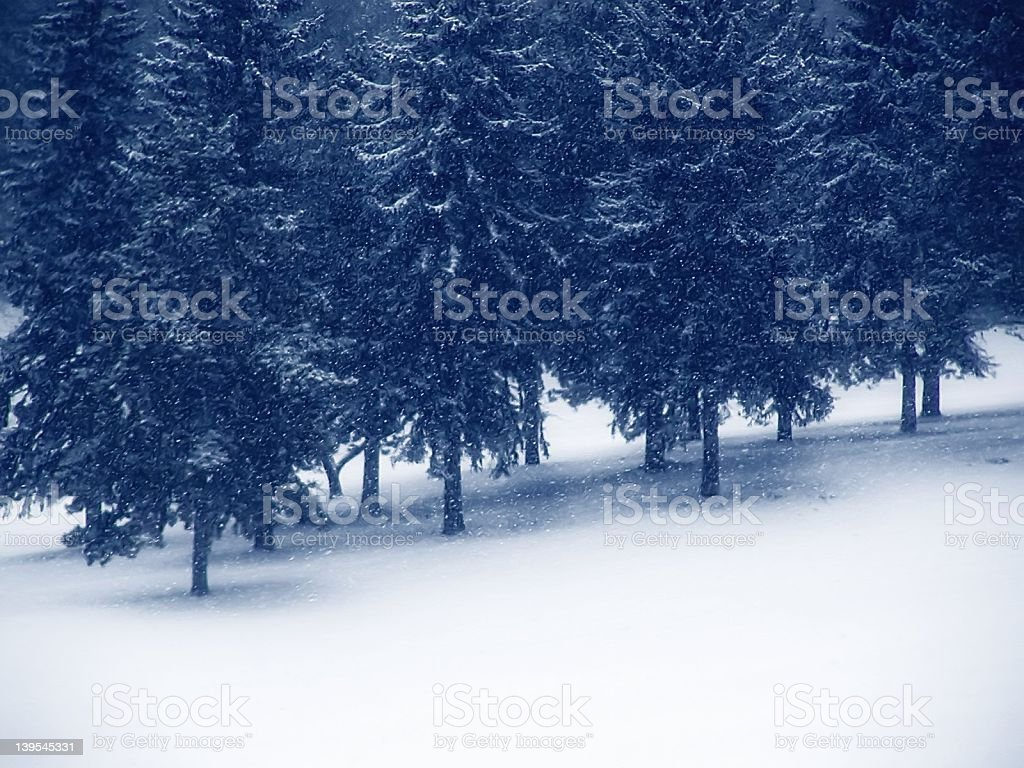 Pines in the Winter royalty-free stock photo