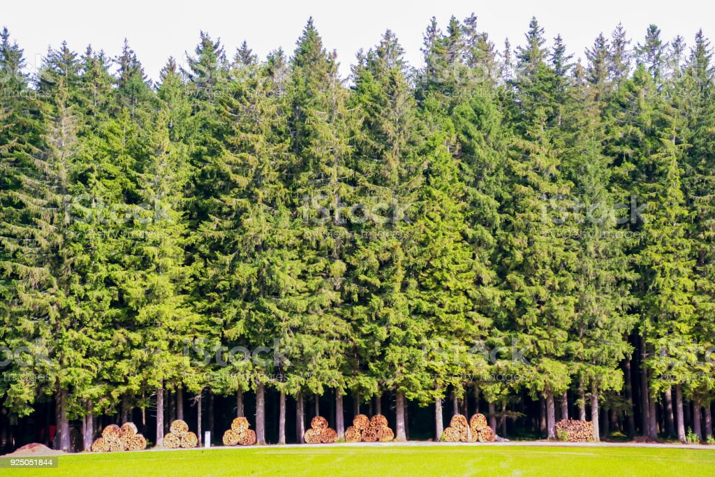 pines òine with cutted wood stock photo