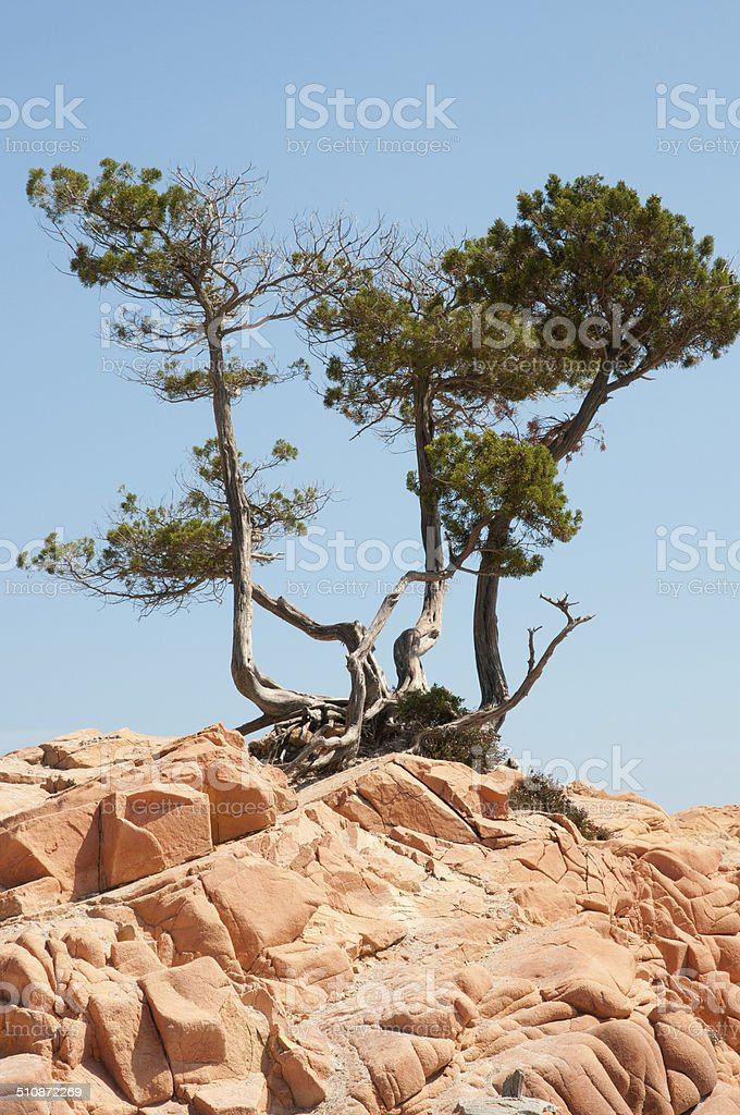 pines on red rocks stock photo