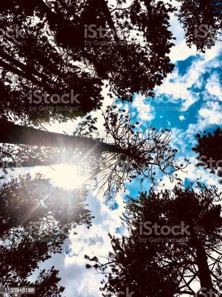 Photo of Pines reaching the heavens